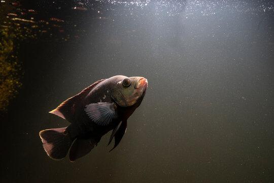 Oscar Fish Swimming Under Water On Dark Background