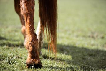 Fototapeta Detail Hinterbeine eines Pferde auf einer Koppel