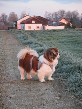 Kleiner Hund beim Spaziergang am frühen Morgen, bei Sonnenaufgang - Spaniel, Acker, Feld, Wiese, sunrise, dog