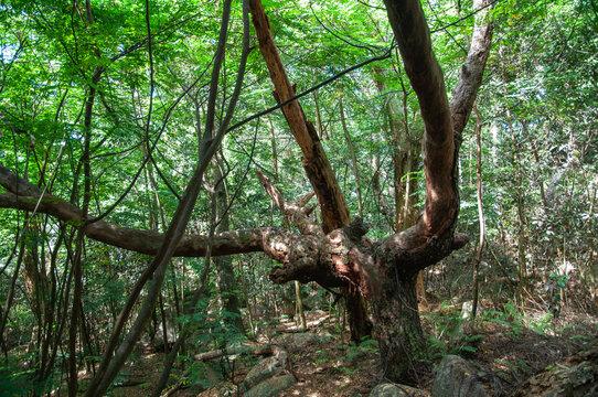 Takamaka tree in the forest, La digue Island