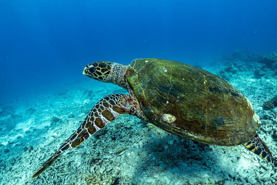 turtle swimming in the sea At the Surin Islands National Park in the south of Thailand.