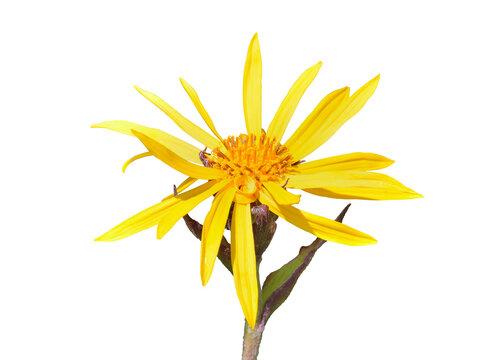 Yellow flower (Ligularia juluensis)
