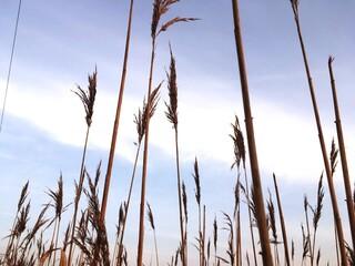 Fototapeta Grasses On Pale Blue Sky
