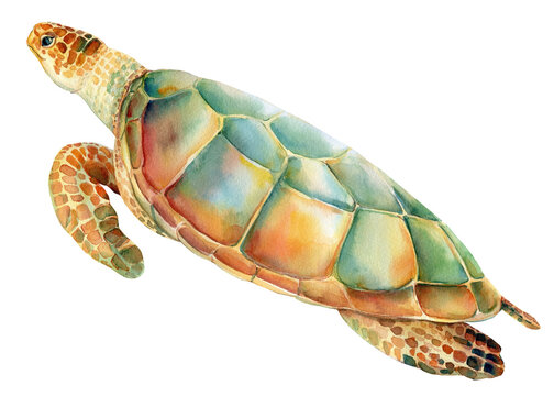 Sea turtle on an isolated white background. Watercolor drawing