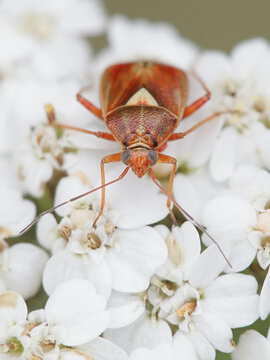 Lygus punctatus, a plant bug on flowers of yarrow, Achillea millefolium