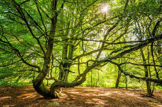 Magische Baumform im Urwald Sababurg, Deutschland