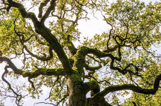 Bemooste Baumkrone einer alten Eiche