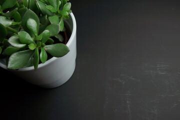Fototapeta zielona roślina doniczkowa na czarnym tle obraz