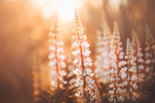 Beautiful delicate fragrant lupine flowers bloomed in the forest, illuminated by the warm rays of the setting sun. Nature.