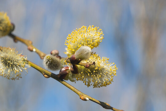 Close-up on the catkins of a goat willow