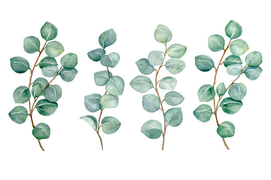 watercolor set of abstract eucalyptus leaves  isolated on white background, hand painted botanical illustration for wedding, print, fabric , etc.