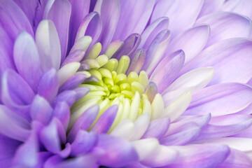 Piękny fioletowy aster kwitnący w ogrodzie