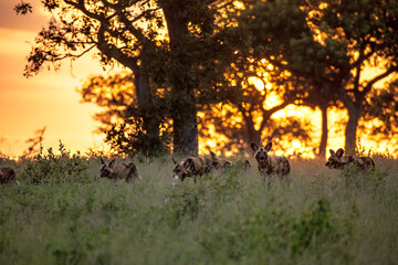 A pack of wild dogs, Lycaon pictus, walk through grass during sunset. Wall mural