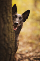 Fototapeta adorable dutch and belgian shepherd malinois mixed breed dog peeking out from behind a tree trunk in a forest in autumn