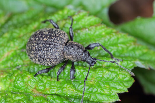 Beetle of Otiorhynchus (sometimes Otiorrhynchus) on a raspberry leaf. Many of them e.i. black vine weevil (O. sulcatus) or strawberry root weevil (O. ovatus) are important pests.