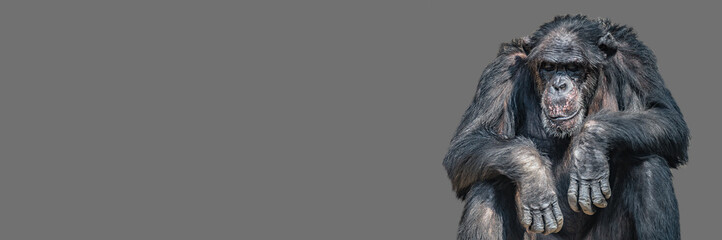 Fototapeta Banner with a portrait of tired bored Chimpanzee, closeup, details with copy space and solid background. Concept biodiversity, animal care, welfare and wildlife conservation