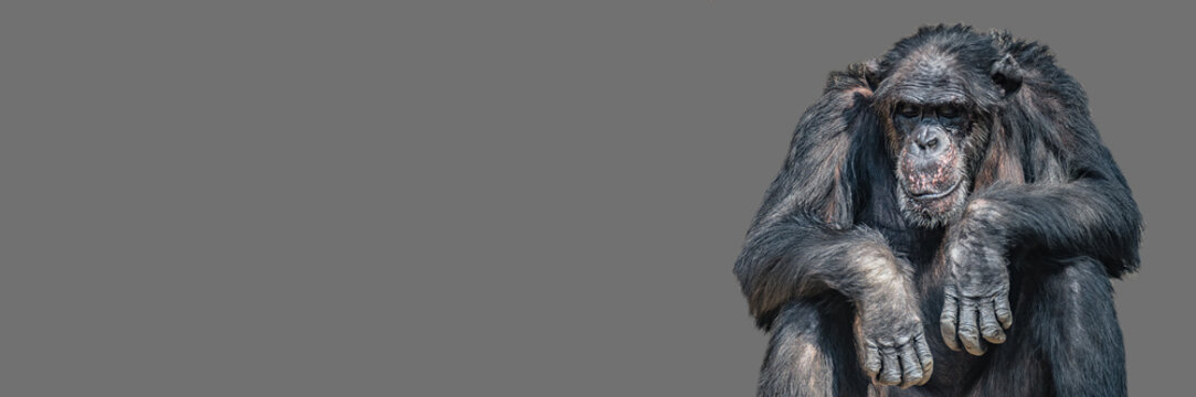 Banner with a portrait of tired bored Chimpanzee, closeup, details with copy space and solid background. Concept biodiversity, animal care, welfare and wildlife conservation
