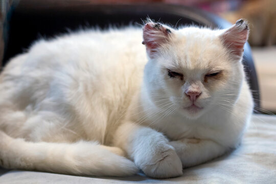White abandoned and sick cat has sore eyes due to infection in the shelter