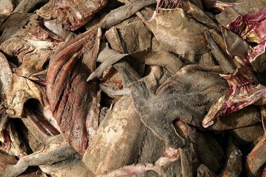 surpeche et massacre des requins a elinkine en casamance