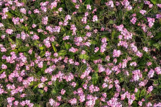 phlox subulata blooming