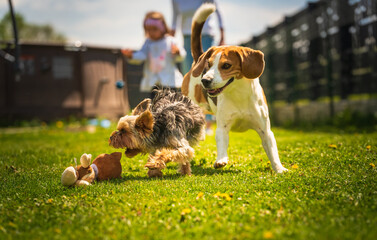 Fototapeta Cute Yorkshire Terrier dog and beagle dog chese each other in backyard.