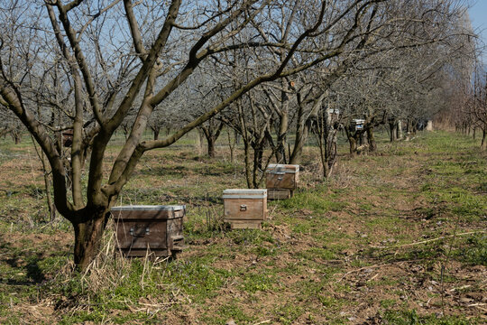 beehives amid the fruit trees