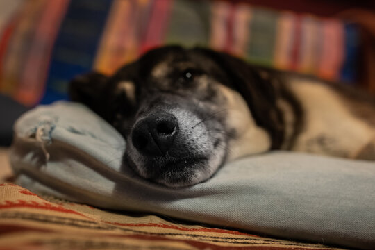 nose of a resting dog