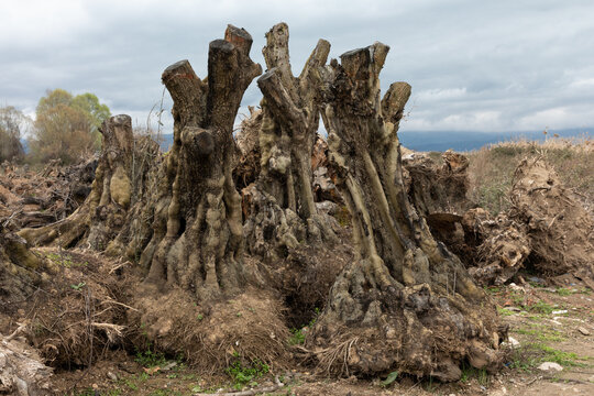 destruction of ancient olive trees