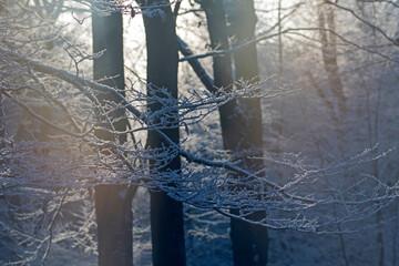 Fototapeta Ośnieżony las zimą