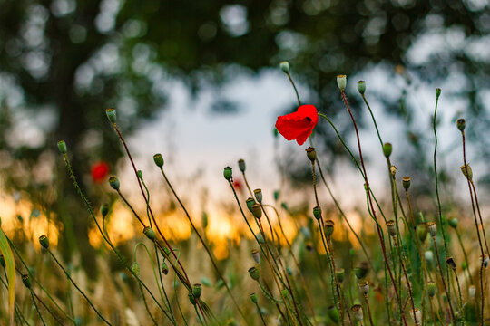 Selective focus shot of red poppies in a field