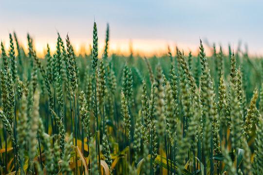 Green wheat field on sunset background
