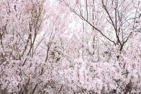 福島県福島市の花見山の桜