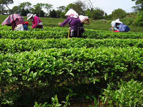 Field of organically grown tea leaves with women harvesting wearing Asian cone hats