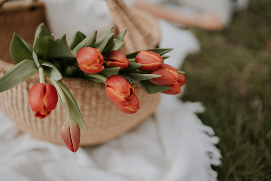 red spring tulips in a picnic basket