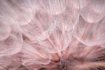 Różowy delikatny pierzasty dmuchawiec