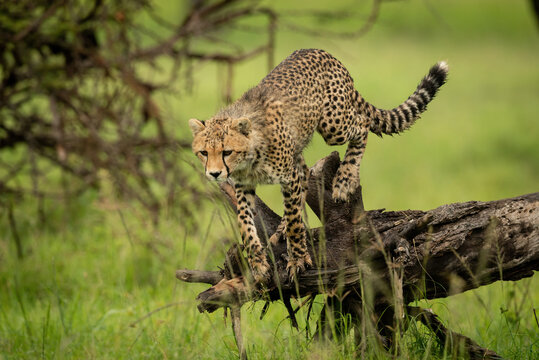 Cheetah cub about to jump off log