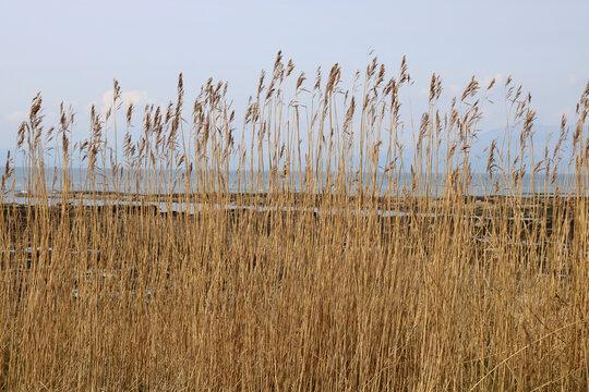 Seaside Reeds Growing in a Coastal Location