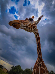 Fototapeta Headshot of a Northern giraffe; low angle view of the animal in the background of dramatic sky