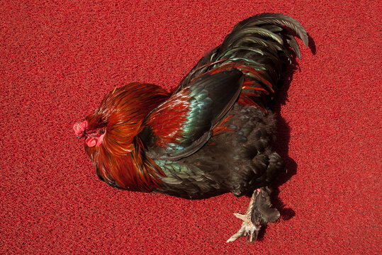 Colombo, Sri Lanka, 02/16/2014: rooster lying on a red carpet