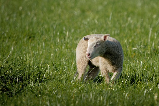 Young goat running around in a field of green grass