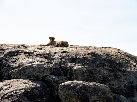 Serengeti National Park, Tanzania, Africa - March 1, 2020: Leopards resting on top of a rock in the sun
