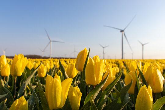 Tulips near a windmill