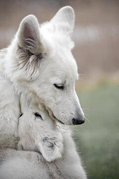 White swiss shepherd mom and puppy
