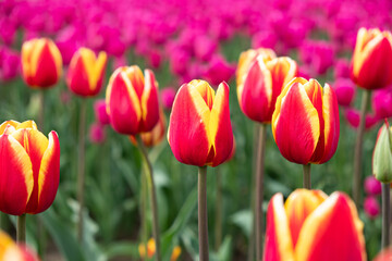 Different colours tulips blooming on a spring day