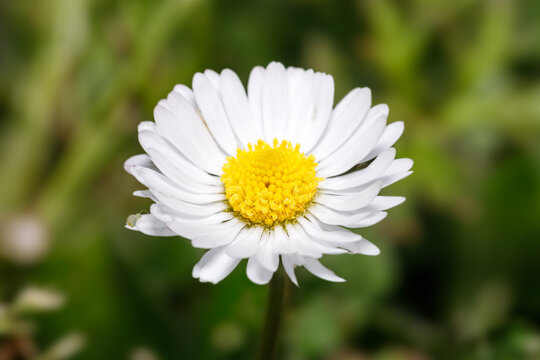 Isolated daisy with green grass blurred background