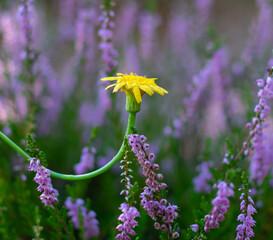 wrzosy i kwiat