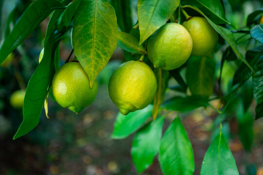 Fresh green lemon limes on tree in organic garden