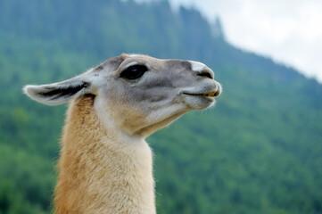Portrait of Alpaca on a green background