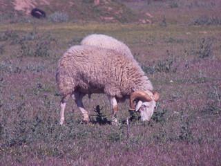 baran zwierze łąka trawa rogi  - fototapety na wymiar