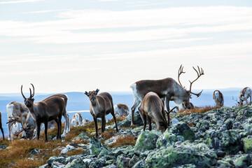 Fototapeta Reindeers in Yllas Pallastunturi National Park, Lapland, northern Finland